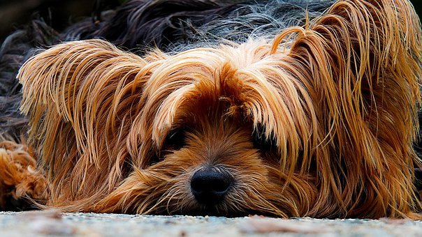 Pies, Yorkshire Terrier, Leniwy Pies