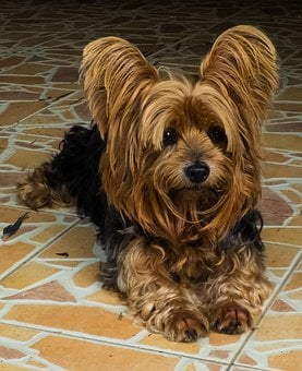 Teacup Yorkie Puppies for sale in Kansas