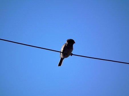鳥, スズメ, 空, ワイヤー, 青い空, ブルー, ブラウン, 羽レース