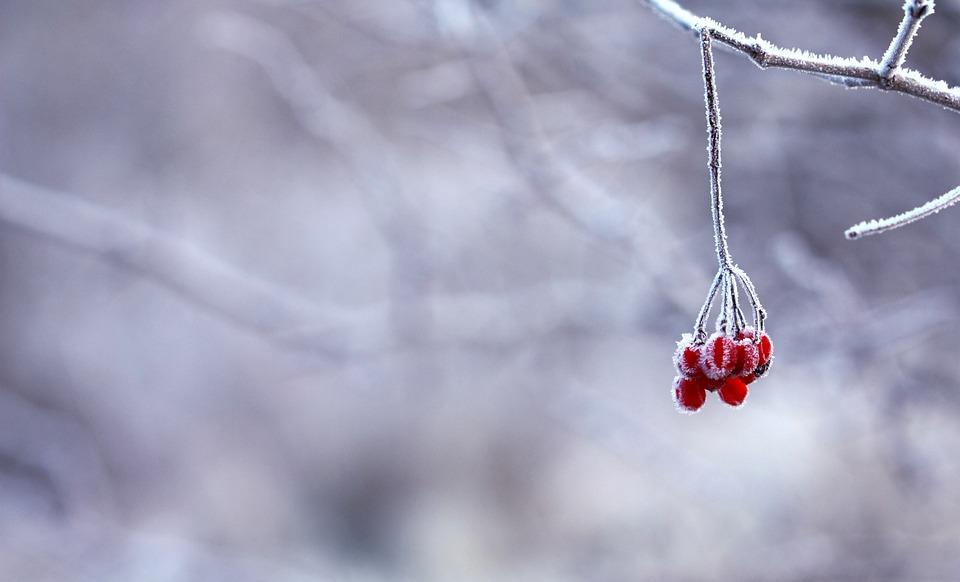 Bagas, Vermelho, Frutas, Branco, Nevado, Ramos, Congelado