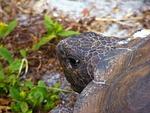 gopher tortoise, turtle