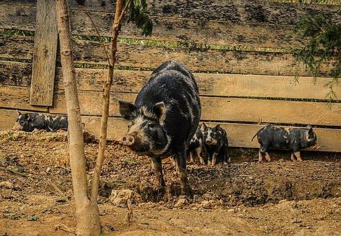 Pigs, Sow, Piglets, Pigsty, Mammal