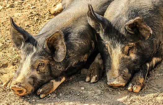 Cerdos, Muddy, Animales De Granja