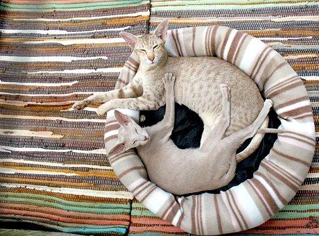 猫, 子猫, シャム猫, 居心地のよい, 毛布, ストライプ, 枕, 近さ