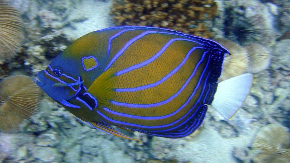 5 Large Saltwater Angelfish Species To Choose