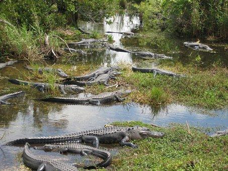 Usa Miami Everglades Crocodile Swamp Flori