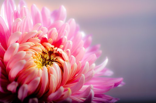 Chrysanthemum, Blossom, Flower, Pink