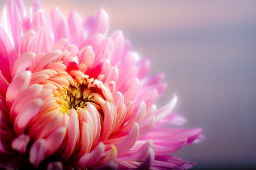 Květina, Chryzantéma, Lístků