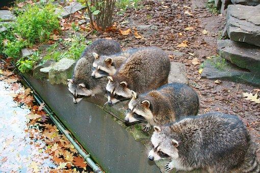 Raccoon, Mammal, Drinking Raccoons
