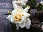 rose, rambler