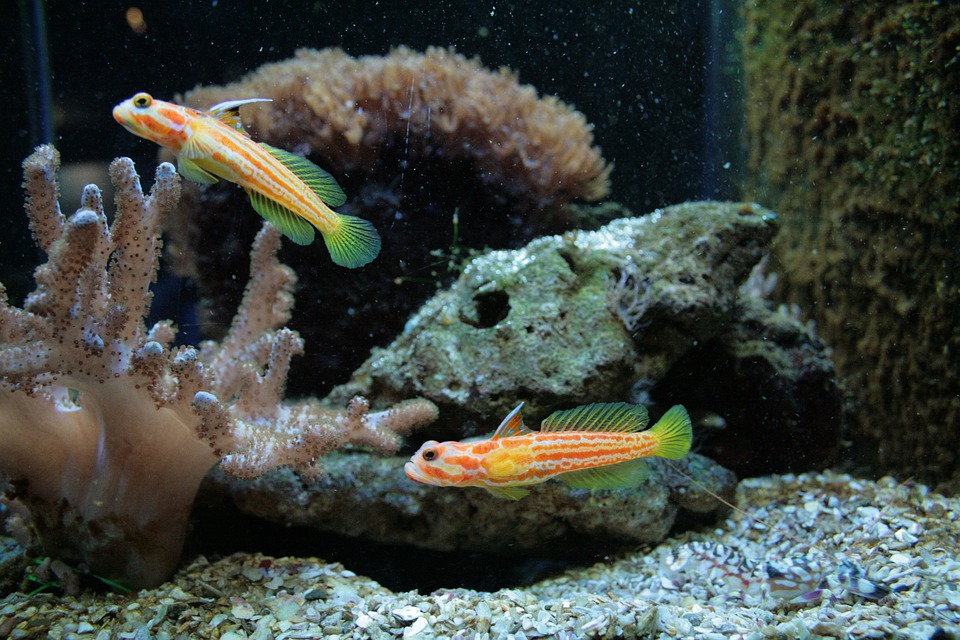 Free photo marine fish aquarium fish free image on for Japanese ornamental fish