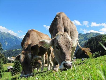 Cows, Austria, Pasture, Landscape