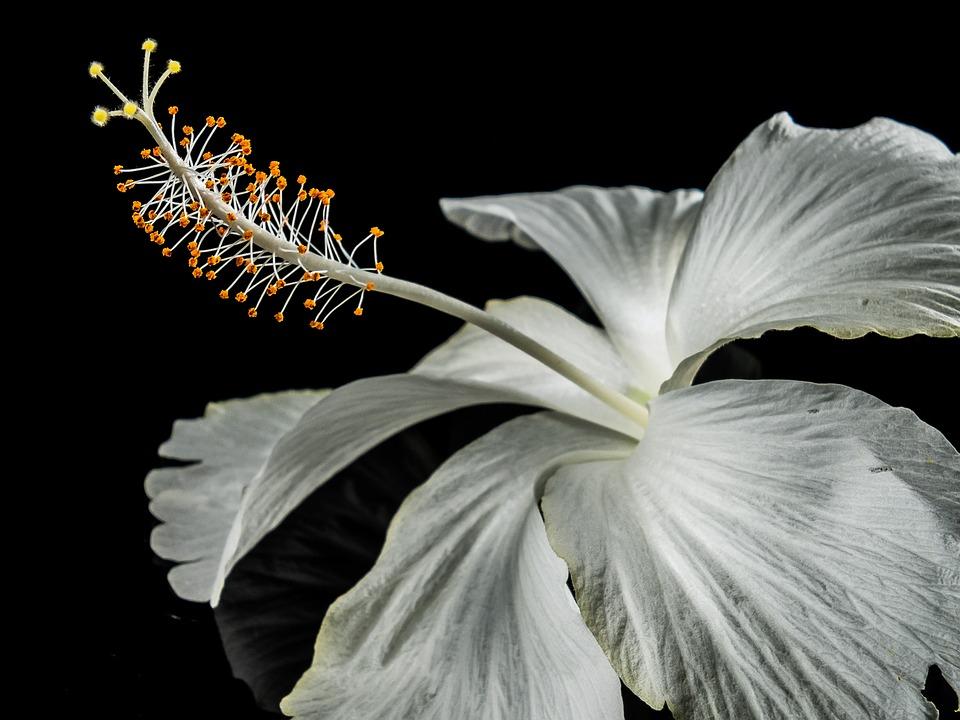 Hibiskus Blüte Blume · Kostenloses Foto auf Pixabay