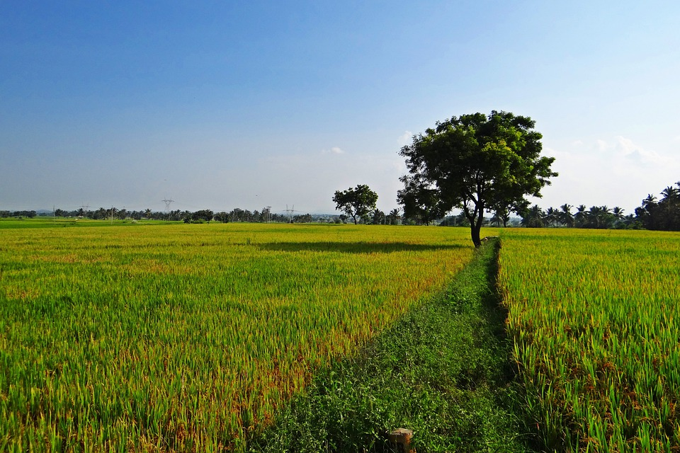 paddy field free images on pixabay