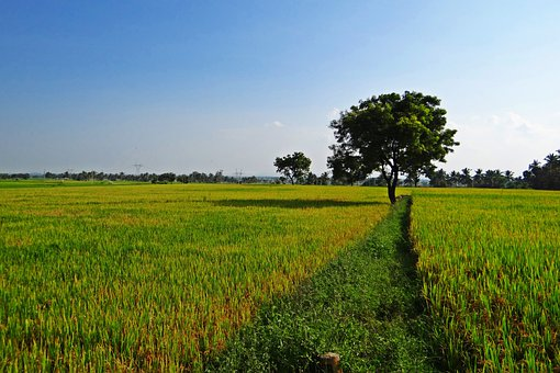 ç°ãã¼, Gangavati, ã«ã«ãã¿ã«å·, ã¤ã³ã, æ°´ç°, 農業, ç±³