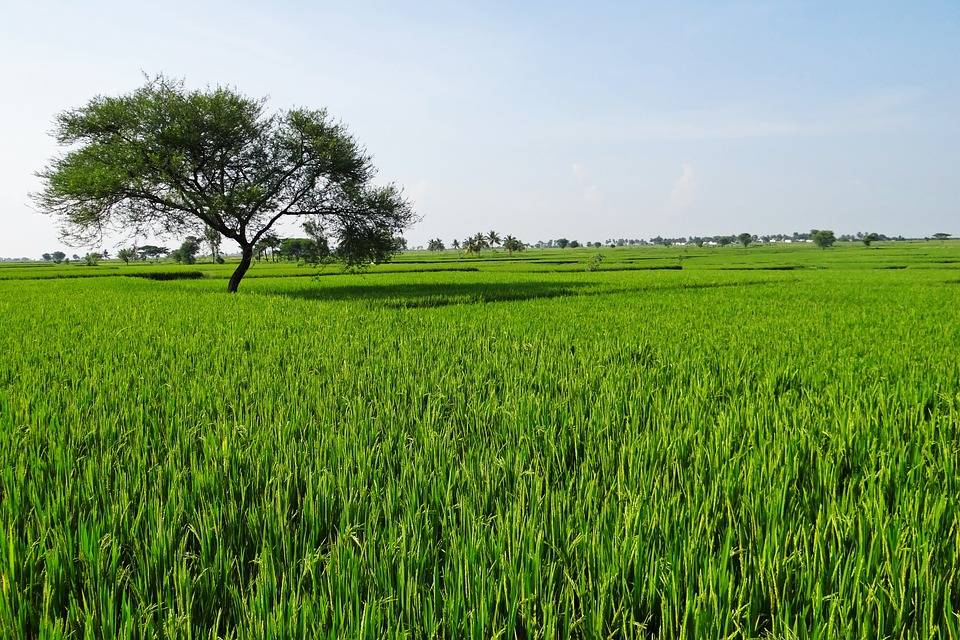rice fields - photo #29