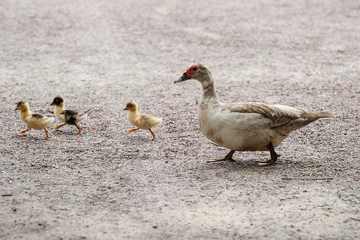 Ducks, Duckling, Bird, Feather, Wildlife