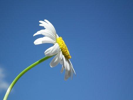 花, デイジー, ホワイト, 日, 空, ブルー, 花びら, シート, ブルーム