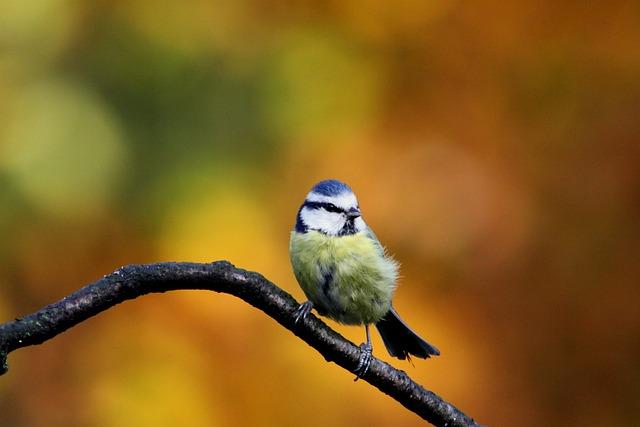 blue tit bird colors 183 free photo on pixabay