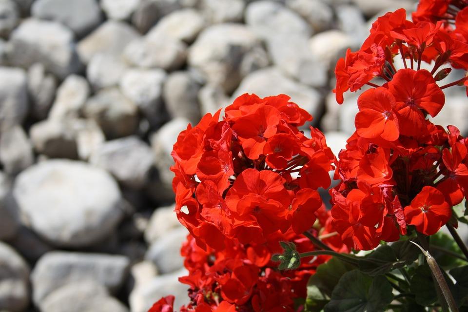 Free photo red flower stones pelargonium free image - Geranio giallo ...
