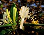 flower, bloom, honeysuckle