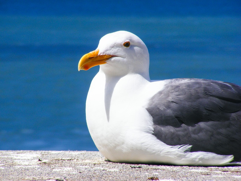 seagull bird feather free photo on pixabay