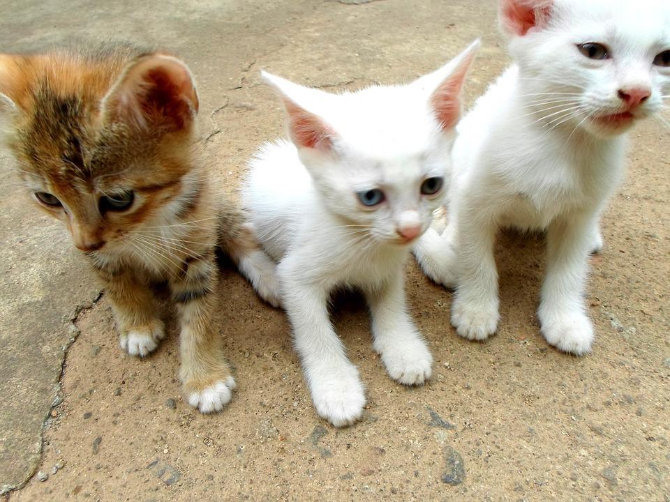 Free Photo Cats Kittens Animals Mammals Free Image