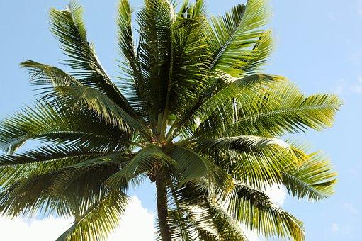 Palm, Tropic, Coconut, Tree