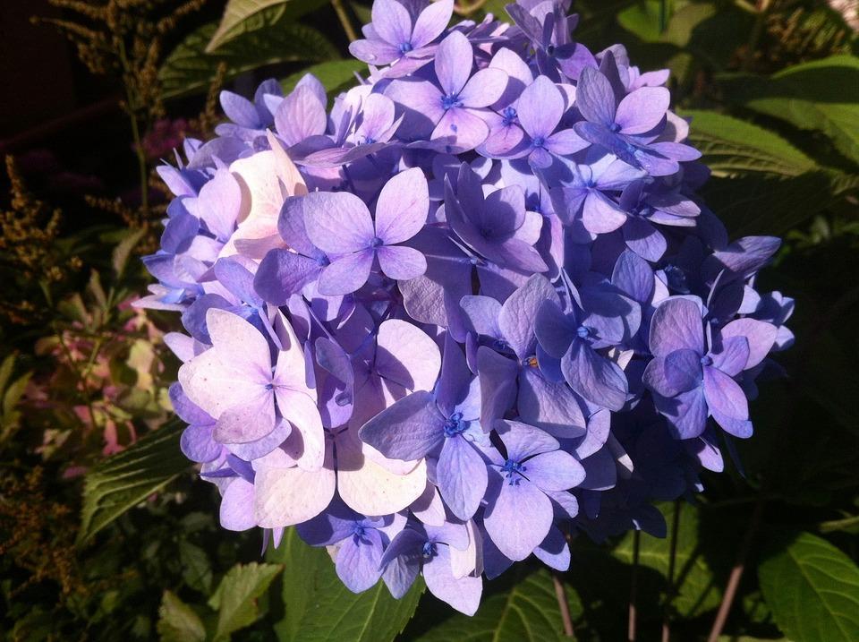 Garten blumen  Kostenloses Foto: Garten, Blumen, Hortensie - Kostenloses Bild auf ...