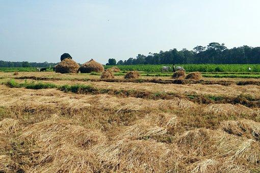 水稲の収穫, 干し草のスタック, 労働者, Kalghatgi, Dharwad