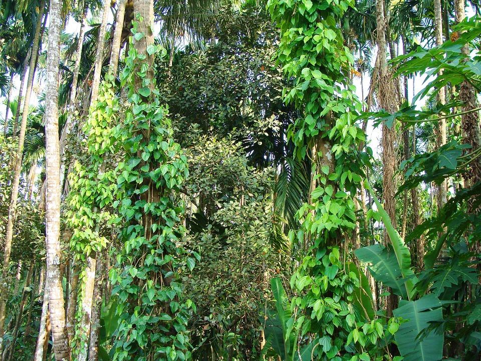 Black Pepper, Piper Nigrum, Climber, Arecanut Tree