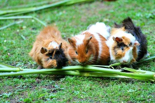 Guinea Pig Sea Pig House Cute Guinea Pig