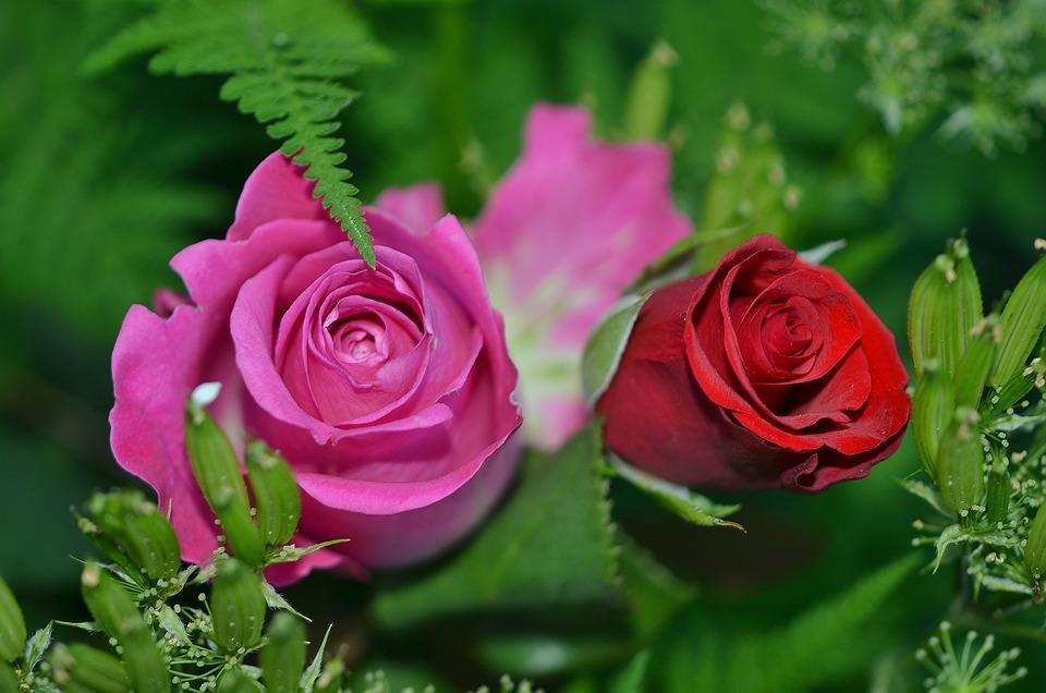 Roses Flowers Nature Macro Pink Rose Green Leaf