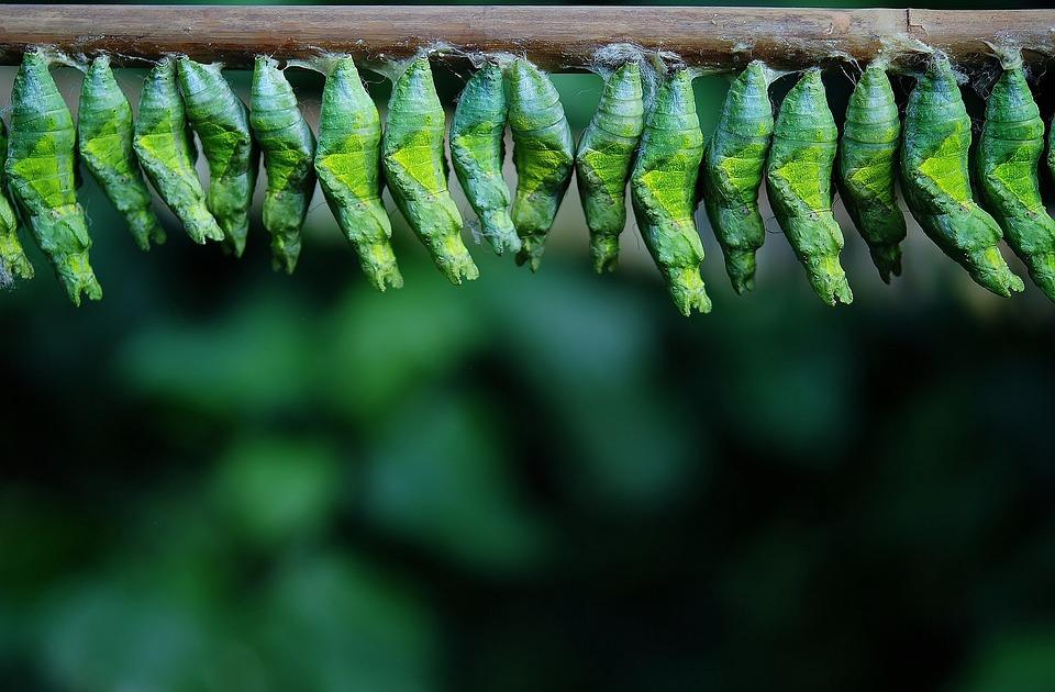 Capullo, Mariposa, Larva, Larvas, Larvas De Insectos