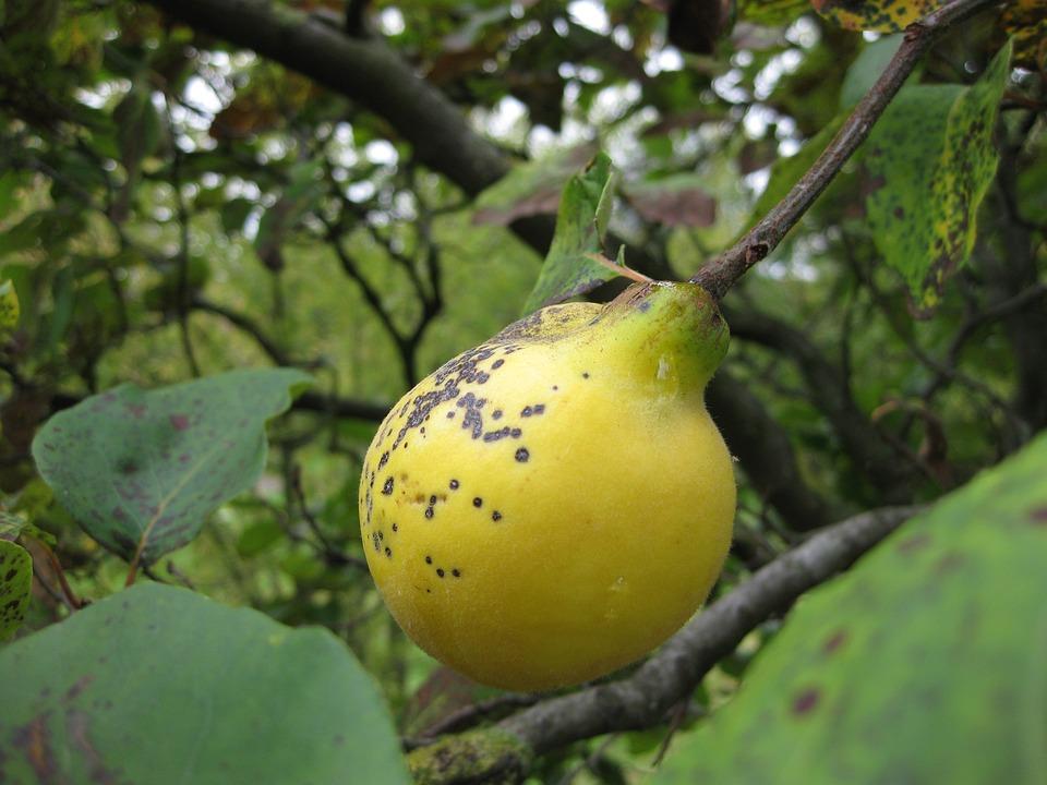 Foto gratis membrillo frutas rbol amarillo imagen gratis en pixabay 209116 - Membrillo arbol ...