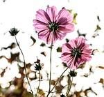 kwiaty, kwiat, różowy