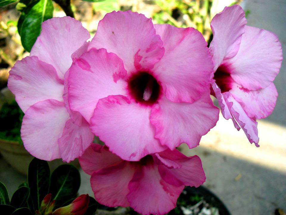 Bunga Kamboja Jepang Jawa Foto Gratis Di Pixabay