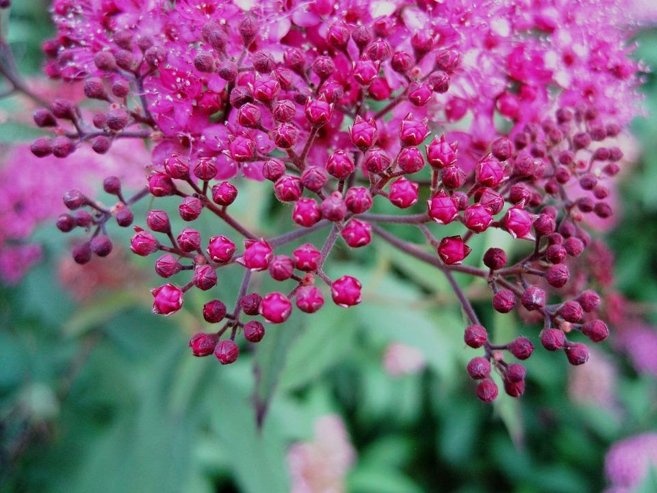 Flowers head pink free photo on pixabay flowers head pink small bright buds garden mightylinksfo