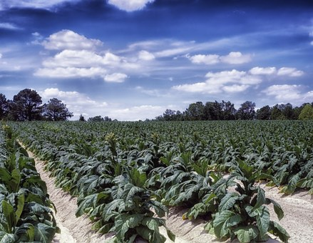 North Carolina Farm Rural Tobacco Field Tr