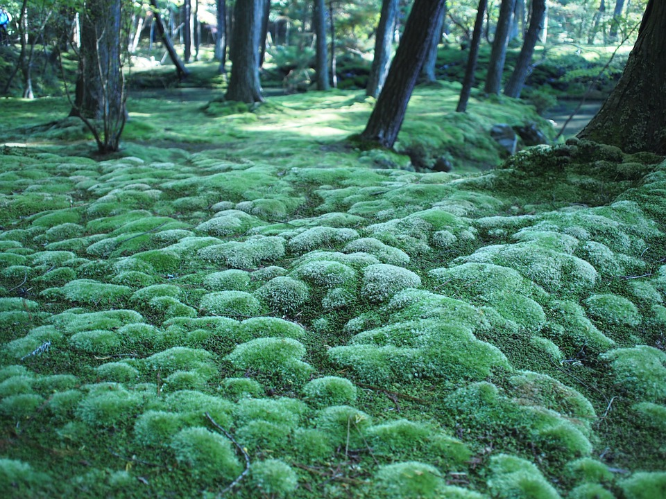 Free Photo Moss Forest Forest Floor Kyoto Free Image