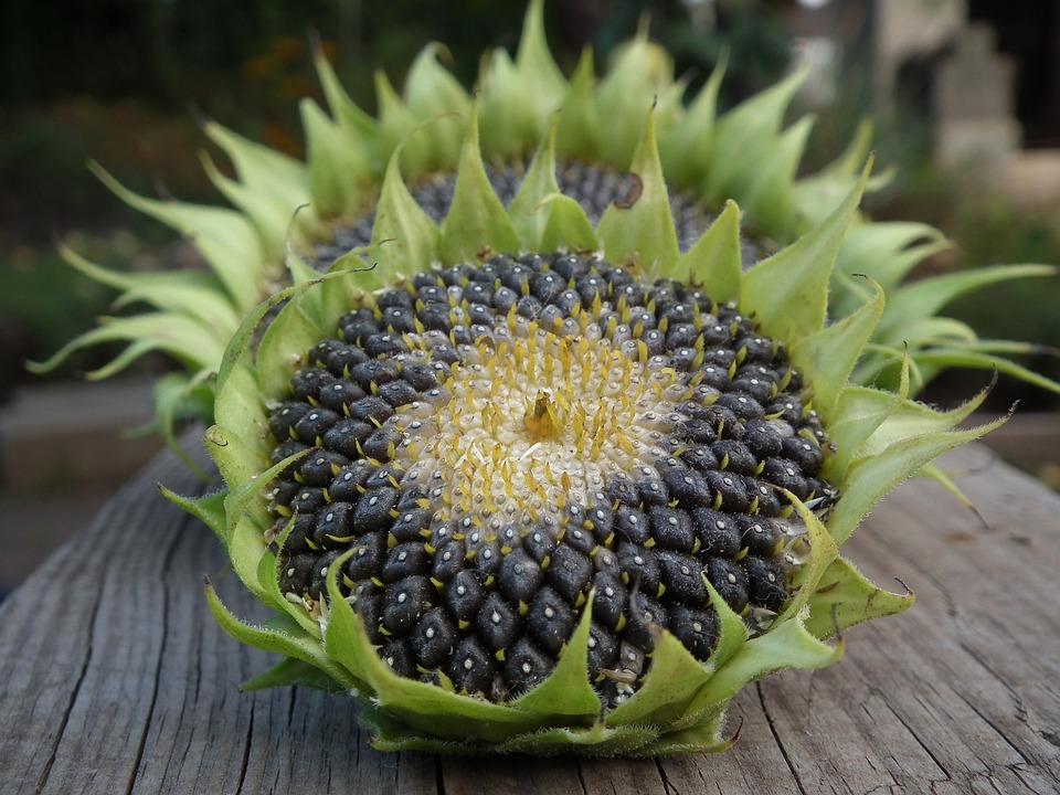 向日葵种子_向日葵 秋季 种子 - pixabay上的免费照片