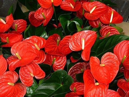 Anthurium Leaf Flamingo Flower Plant Arons