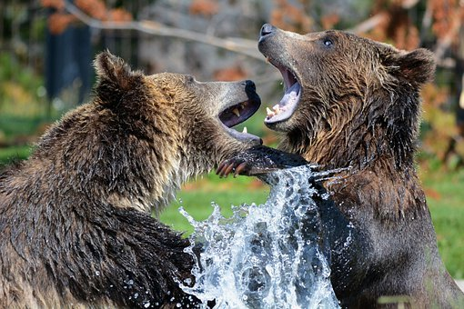 Grizzly, Bears, Playing, Sparring