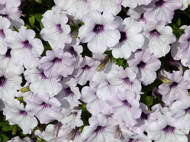Free Photo: White, Purple, Petunia, Fragrant