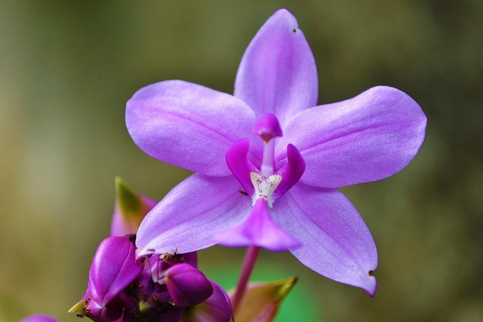 orchid purple orchid garden sri lanka - Orchid