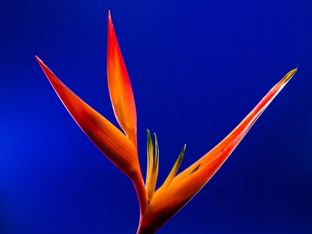 Strelitzia, Blossom, Bloom, Flower, Red