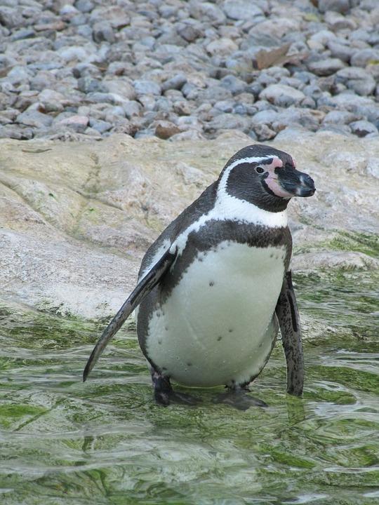er pingvin en fugl