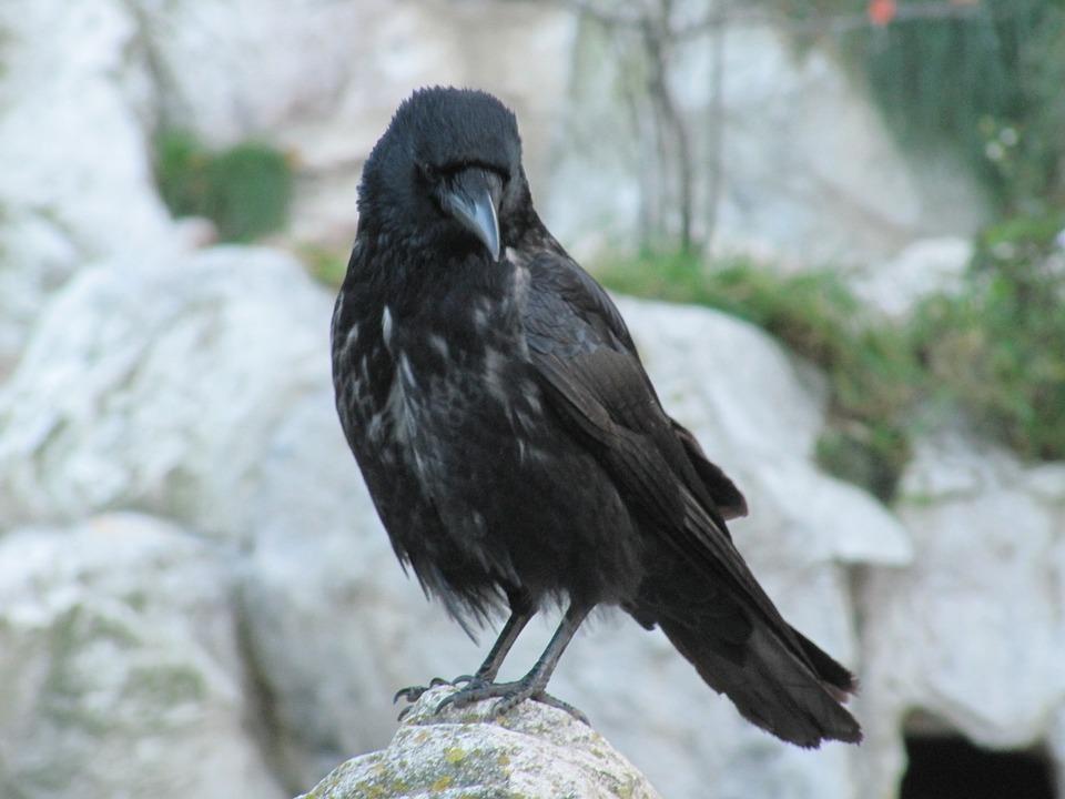 Foto veľké čierne vtáky