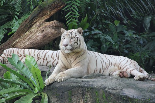 Tiger Zoo Singapore Animal Nature Beautifu