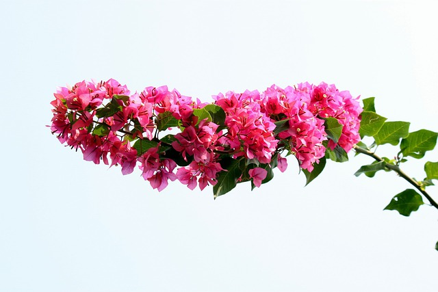 Free Photo Flower Bougainvillea Floral Free Image On